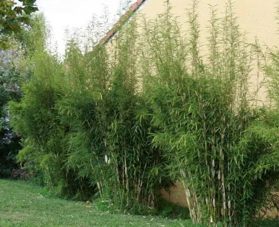 bambou cespiteux touffe