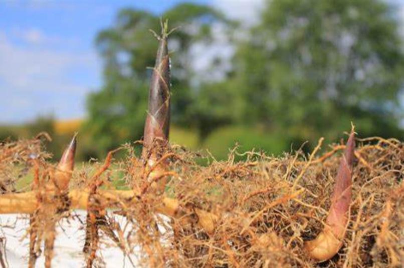 bambou rhizome leptomorphe tracant et turion