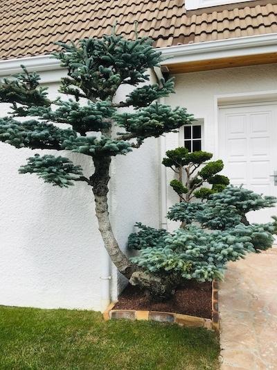 niwaki arbre taille en nuage